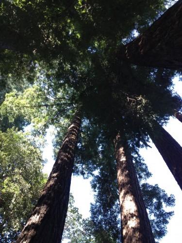 circle of redwoods around gfather tree